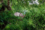 Tiger is resting in the shadow/wild animal in the nature habitat