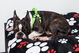 beautiful pet, dog boston terrier