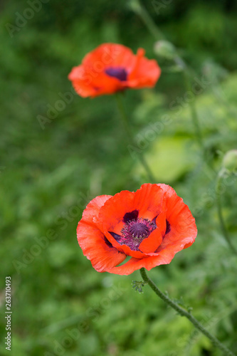Blooming red poppies in the summer garden - 263710493