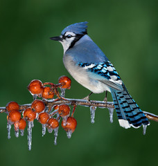 Blue Jay on icy branch