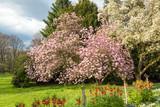 Saucer magnolia tree in full blossom