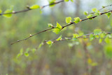 spring birch tree leaves and buds on twid macro