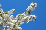 Weiße Blüten an einem Kirschbaum im Frühling.