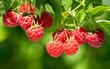 branch of ripe raspberries in a garden - 263770800