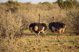 Two ostriches running on the african savannah
