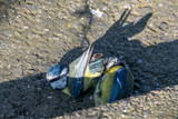 A pair of bluetit wild birds (Cyanistes caeruleus) on the ground mating in spring. They dropped from a tree to the ground, eventually flew off to nearby trees Clacton on Sea, Essex, UK
