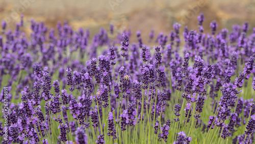 Soft focus on lavender flower, beautiful lavender flower