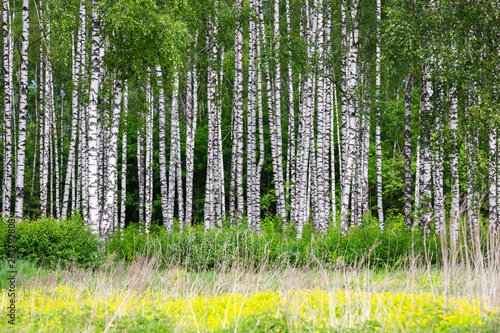 Birch grove on a sunny summer day. - 263792808