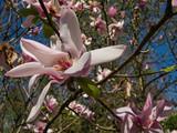 Ein Magnolienbaum in voller Blüte mit unschärfe