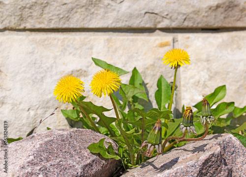 Blühender Löwenzahn zwischen Steinen