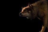 Wolf on black background