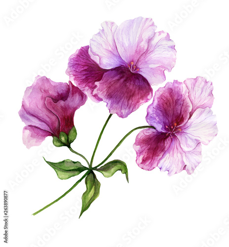 Beautiful regal pelargonium (geranium) flower on a stem with green leaves. Pink and purple flower isolated on white background. Watercolor painting. © katiko2016