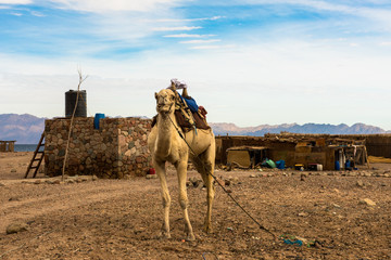 Egyptian landscape, Bedouin village and camel in Sinai desert