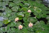 Bassin avec nénuphars et lotus