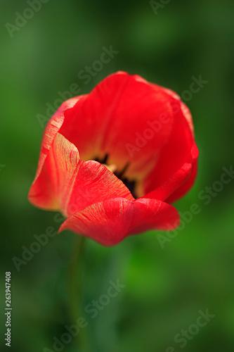 red tulips © olena