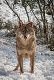 Lobo Iberico (Canis Lupus Signatus)