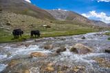Yak buffaloes walking on the mountain