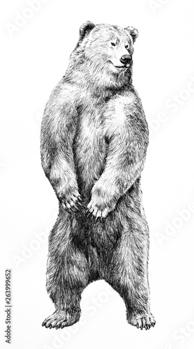 Bear Illustration Of Dangerous Animal Standing On Hind Legs Hand