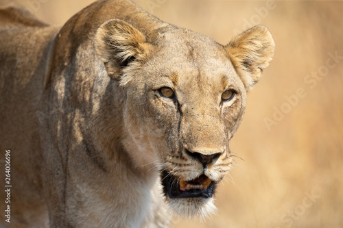Lone lioness walking through dry brown grass hunt for food
