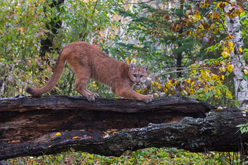 Cougar (Puma concolor) Claws at Log in Lightly Falling Snow Autumn © hkuchera