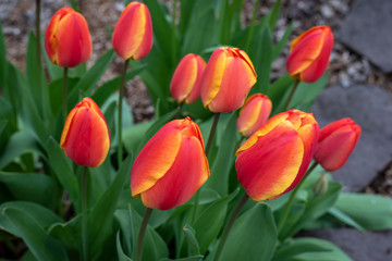 Portrait of red and yellow tulips growing in a home garden, springtime in the Pacific Northwest