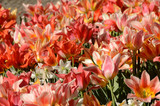 Wiew into a flowerbed with tulips in orange and pink colors.
