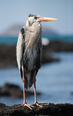 Heron standing on the rocks on the background of the ocean. The Galapagos Islands. Birds. Ecuador