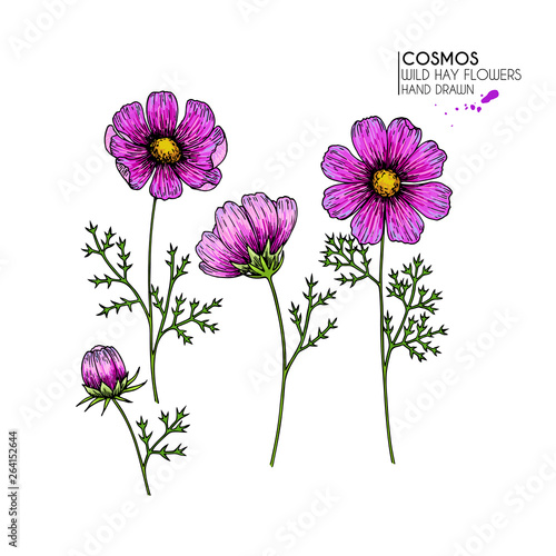 Hand drawn wild hay flowers. Vector cosmos or cosmea flower. Vintage engraved colored art. Botanical illustration. Good for cosmetics, medicine, treating, aromatherapy, nursing, package design.