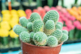 Cactus is a perennial shrub.