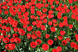 Plantation of red tulips. Blooming flowers. Spring flowers