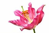 白背景のユリの花