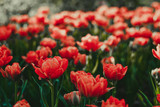Coral red tulip field close up shallow depth of field