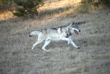 Grey Wolf pack in Autumn, Western US