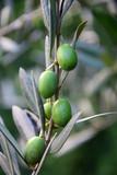 Grüne Oliven an einem Zweig