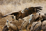 The white-backed vulture (Gyps africanus) fighting for the carcasses.Typical behavior of bird scavengers around carcass, rare observations during safari.