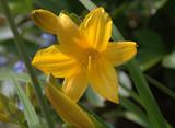 lys jaune ,dans massif floral au printemps