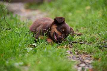 a small, cute little dog playing on the grass © M.Gierczyk