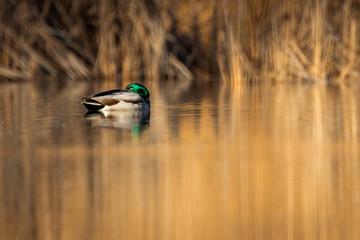 Canard colver dormant sur un étang.
