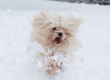 havanese dog in snow