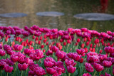 Brightly colored tulips tulips by the lake at Keukenhof Gardens, South Holland, Netherlands. Keukenhof is known as the Garden of Europe.