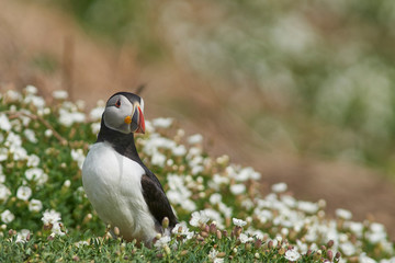 Atlantic puffin (Fratercula arctica) in spring on Skomer Island off the coast of Pembrokeshire in Wales, United Kingdom