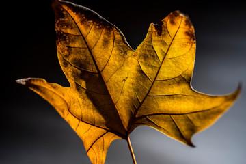 dry leaves illuminated in studio