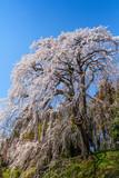Shidare cherry blossom bloom in Fukushima Prefecture