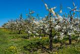 Blühende Kirschbäume in einer Intensivanlage