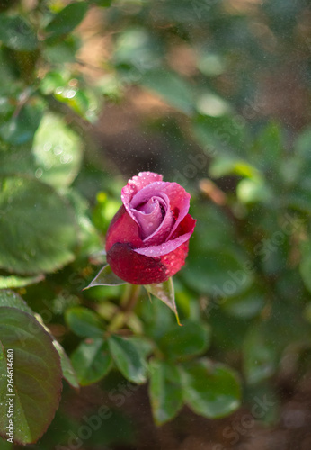 Beautiful bud pink rose flower with dew drops on a sunny warm day  © Alika