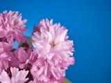 Pink cherry blossom beautiful romantic flowers