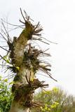 Alte Birke, Baum zurück geschnitten mit vielen neuen Trieben und Ästen