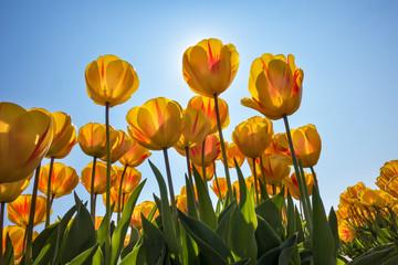 Traditional Dutch tulip field