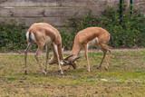 antilope
