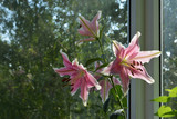 Beautiful lily flowers in small romantic garden on the balcony. Summer day.